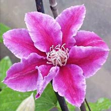 Clematis-Dr-Ruppel