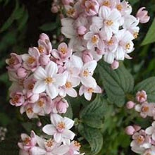 Deutzia-Mont-Rose