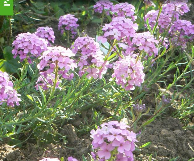 100/% fleurs Fleurs Sauvage Britannique pour pelouses 20g semences