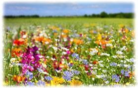 Semer Une Prairie Fleurie