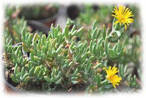 comment planter ficoides