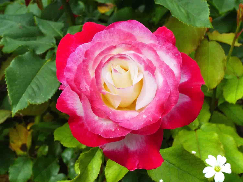 comment avoir de beaux rosiers dans son jardin. Black Bedroom Furniture Sets. Home Design Ideas