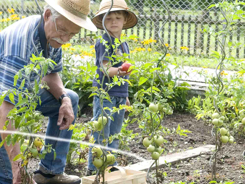 Planter Des Tomates En Pot comment cultiver les tomates en pot ?