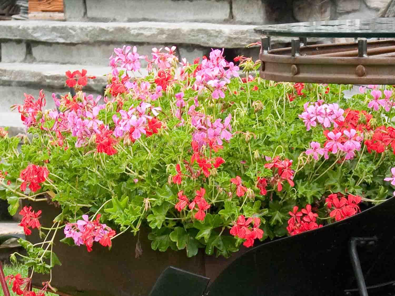 Echange de graines troc aux plantes et boutures for Comment arroser les geraniums
