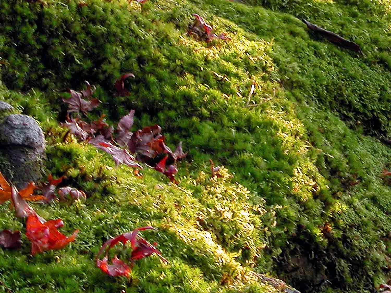 faire pousser de la mousse coeur mousse vegetal tillandsia mousse lichen piphytes comment. Black Bedroom Furniture Sets. Home Design Ideas