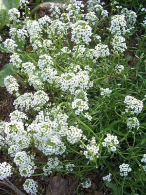 Petite Plante A Fleurs Blanches Nom De Fleur Et Plante Collegecalvet66