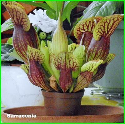 Images de plantes carnivores A1509