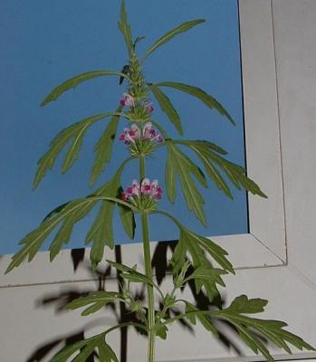 Chervis (Sium sisarum) et autres plantes oubliées. - Page 2 A88