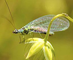 La chrysope verte - Insecte vert volant ...