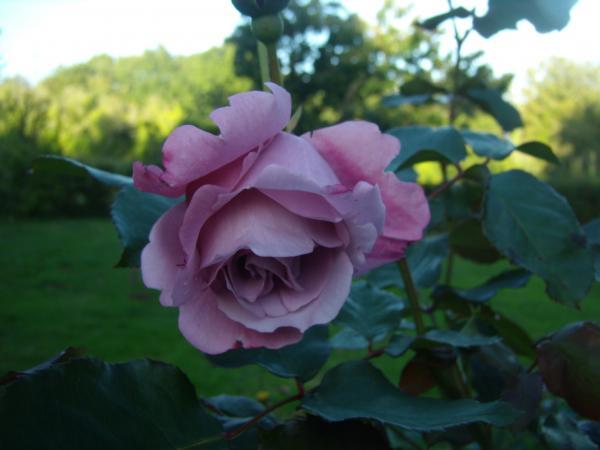 Question jardin rosiers attaqu s par des vers - Rosier mange par des chenilles ...