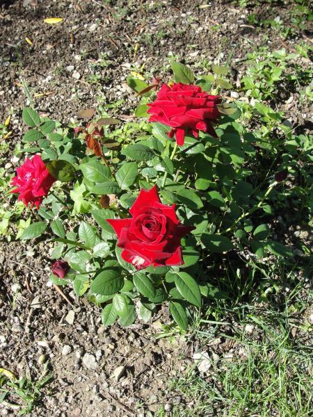 Question jardin d placer un rosier - Deplacer un rosier ...