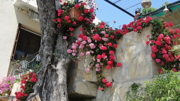 Question jardin quand rentrer les g raniums - Quand rentrer les geraniums ...