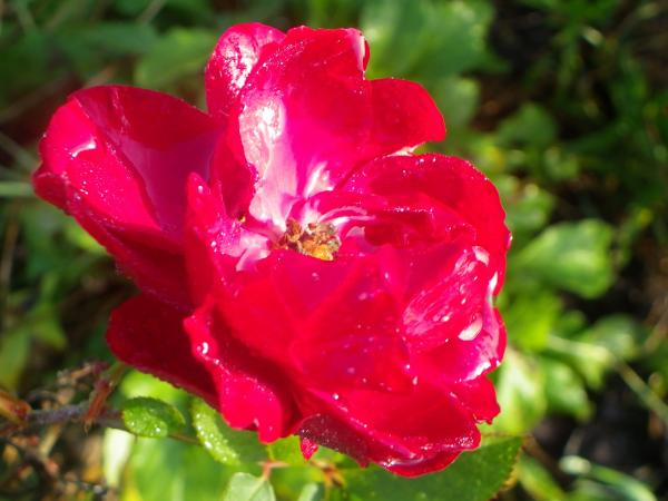 question jardin liste de rosiers robustes et sains. Black Bedroom Furniture Sets. Home Design Ideas