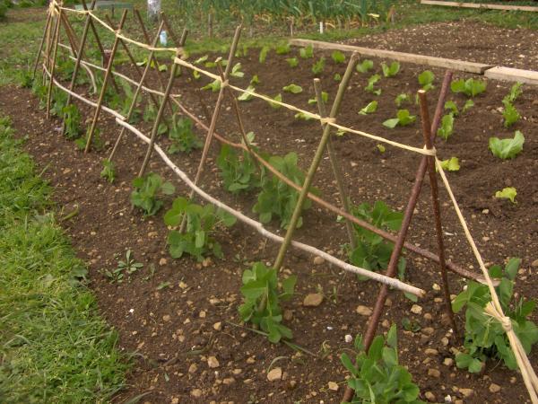Question jardin tuteur petits pois - Comment cuire les petit pois du jardin ...