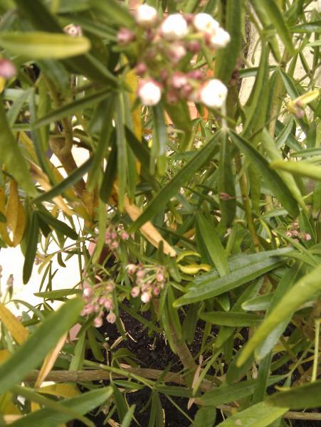 question jardin : oranger du mexique