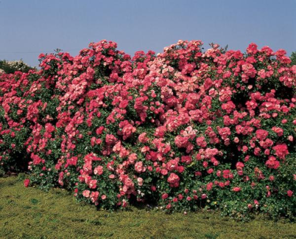 Question jardin rosiers sans pine - Rosier grimpant sans epine ...