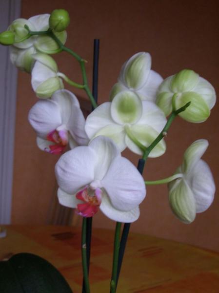 question jardin orchid e dendrobium. Black Bedroom Furniture Sets. Home Design Ideas
