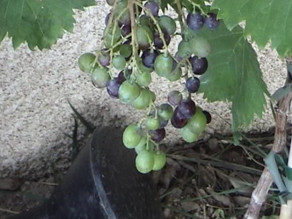 Question jardin comment tailler une vigne grimpante - Comment planter une vigne ...
