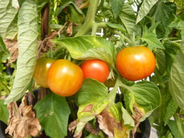 question jardin semis des tomates. Black Bedroom Furniture Sets. Home Design Ideas