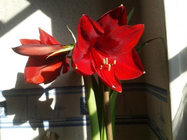 Question jardin qu 39 en faire apr s floraison for Oignon amaryllis