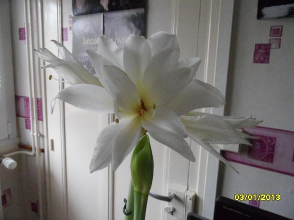 Question jardin qu 39 en faire apr s floraison for Garder un amaryllis