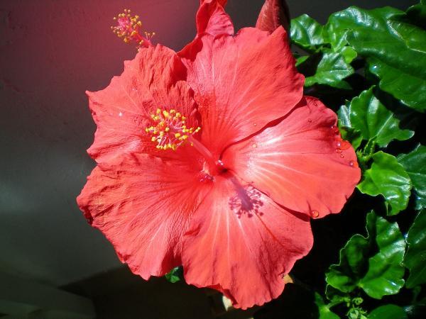 question jardin hibiscus. Black Bedroom Furniture Sets. Home Design Ideas