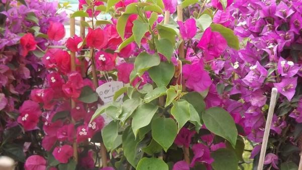 Question jardin tailler un bougainvillier - Comment tailler un bougainvillier ...