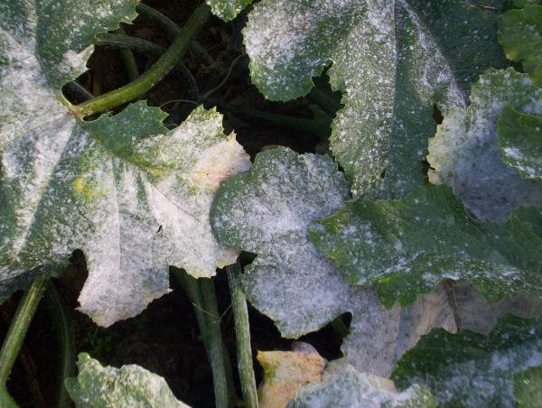Question jardin feuilles des courgettes blanche - Feuille de courgette blanche ...