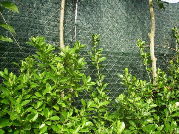 Question Jardin Habiller Un Grillage