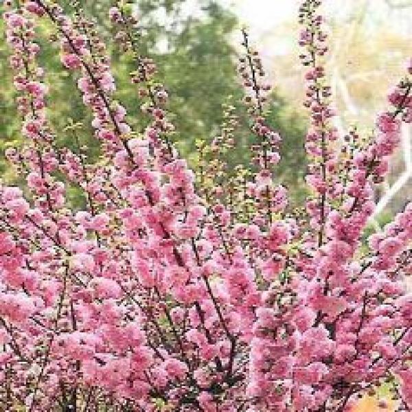 Scenery spring pictures arbuste de printemps fleurs roses - Fleurs roses de printemps ...