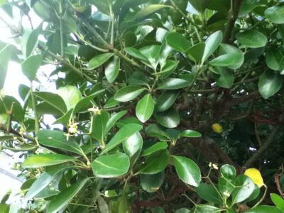 Identifier identification de arbre et arbuste - Plante qui attire les moustiques ...