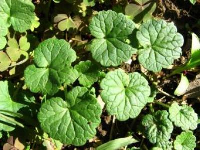 Identifier identification de autre plante - Identifier mauvaise herbe gazon ...